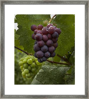 Pinot Noir Grapes Framed Print by Jean Noren