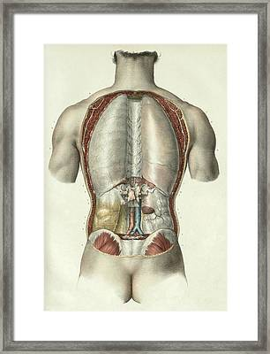 Pleura And Peritoneum Framed Print by Science Photo Library