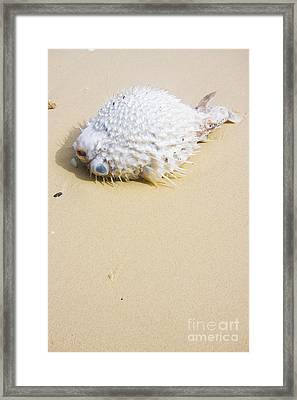 Puffed Out Puffer Fish Framed Print by Jorgo Photography - Wall Art Gallery