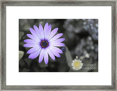 Purple Daisy Framed Print by Design Windmill