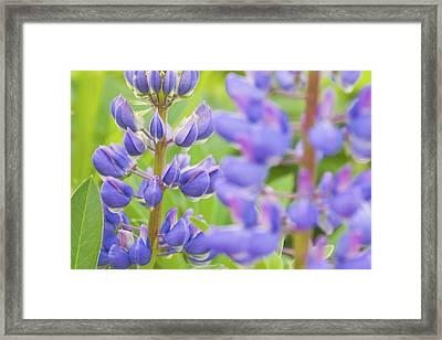 Purple Lupine Flowers Framed Print by Keith Webber Jr