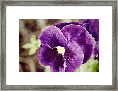 Purple Pansy Framed Print by Carolyn Ricks