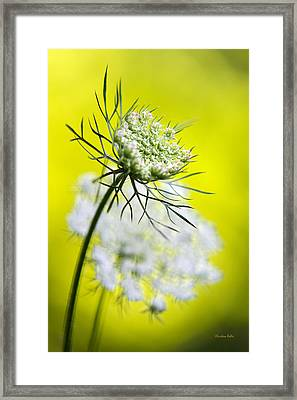 Queen Anne's Lace Flower Framed Print by Christina Rollo