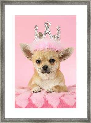 Queen Chihuahua Framed Print by Greg Cuddiford
