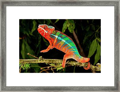 Rainbow Panther Chameleon, Fucifer Framed Print by David Northcott