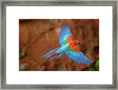 Red And Green Macaw Flying Framed Print by Pete Oxford
