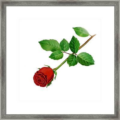 Red Rose Framed Print by Irina Sztukowski