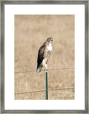 Red Tail Stare Framed Print by Mike Dawson