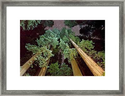 Redwood (sequoia Sempervirens) Trees Framed Print by Bob Gibbons