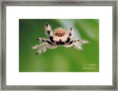 Regal Jumping Spider Jumping Framed Print by Scott Linstead