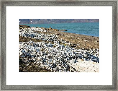 Remains Of Beluga Whales Framed Print by Ashley Cooper