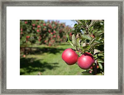 Ripe Apples In A Orchard Framed Print by Jim West