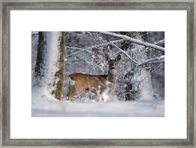 Roe  Deer Framed Print by Dragomir Felix-bogdan