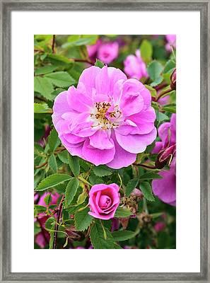 Rosa Californica 'plena' Framed Print by Geoff Kidd