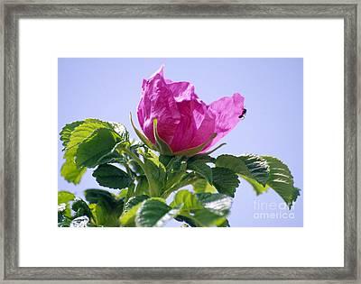 Rosa Rugosa Flower Framed Print by Dr. Nick Kurzenko