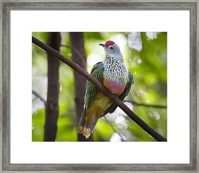Rose-crowned Fruit-dove Australia Framed Print by Martin Willis