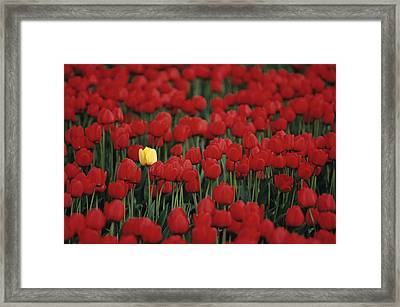 Rows Of Red Tulips With One Yellow Tulip Framed Print by Jim Corwin