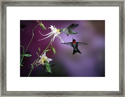 Ruby-throated Hummingbirds (archilochus Framed Print by Richard and Susan Day