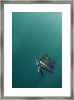 Sailfish (istiophorus Framed Print by Pete Oxford