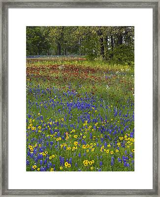 Sand Bluebonnet  Drummonds Phlox Framed Print by Tim Fitzharris