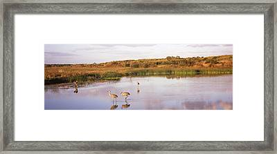 Sandhill Cranes Grus Canadensis Framed Print by Panoramic Images