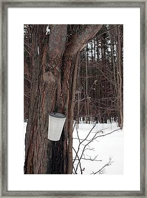 Sap Collection From Maple Tree Framed Print by Jim West