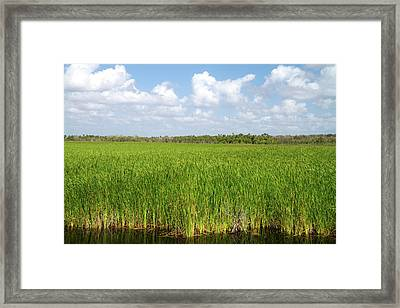 Sawgrass In The Florida Everglades Framed Print by David R. Frazier