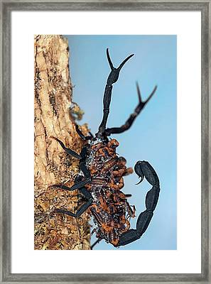 Scorpion Carrying Young Framed Print by Nicolas Reusens
