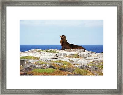 Sea Lion On Rocky Promontory Above Blue Framed Print by Chris Caldicott
