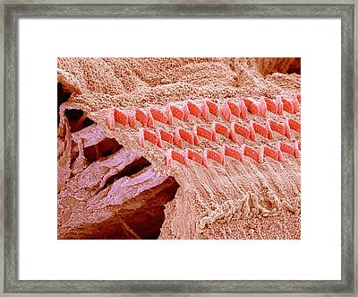 Sensory Hair Cells In Ear Framed Print by Susumu Nishinaga