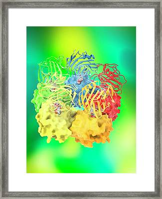 Serum Amyloid P And Cphpc Complex Framed Print by Ramon Andrade 3dciencia