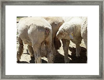 Sexual Attraction Between Male Sheep Framed Print by Thierry Berrod, Mona Lisa Production