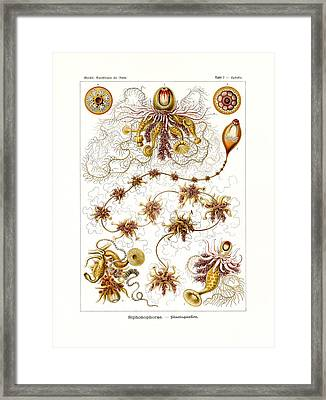 Siphonophorae Framed Print by Splendid Art Prints