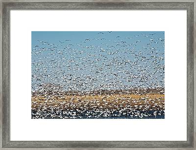 Snow Geese Flock Framed Print by Jim West