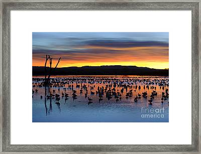 Snow Geese In Pond At Sunrise Framed Print by John Shaw