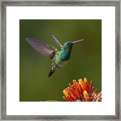 Snowy-bellied Hummingbird Framed Print by Heiko Koehrer-Wagner