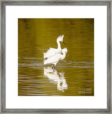Snowy Egrets Framed Print by Robert Frederick