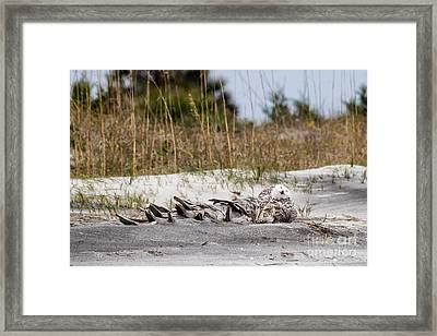 Snowy Owl Little Talbot Island State Park Florida Framed Print by Dawna  Moore Photography