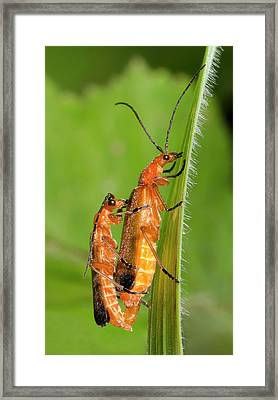 Soldier Beetles Mating Framed Print by Nigel Downer