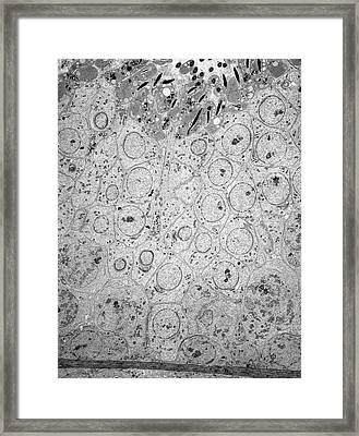 Sperm Maturing In Testis Framed Print by Microscape