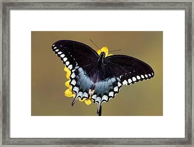 Spicebush Swallowtail Butterfly Framed Print by Millard H Sharp