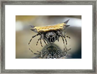 Spiny Orbweaver Spider Framed Print by Nicolas Reusens