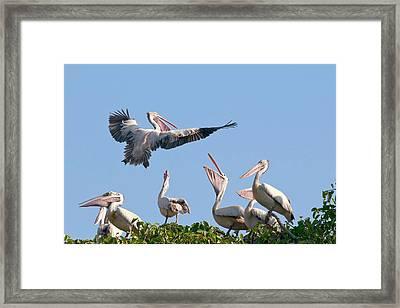 Spot-billed Pelican In Flight Framed Print by K Jayaram