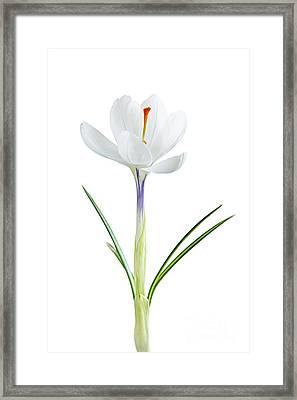 Spring Crocus Flower Framed Print by Elena Elisseeva
