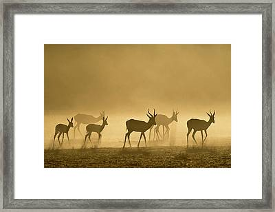 Springbok Herd At Dawn Framed Print by Tony Camacho