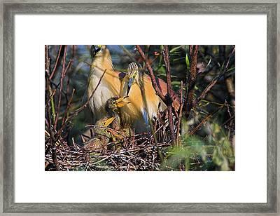 Squacco Heron (ardeola Ralloides Framed Print by Martin Zwick