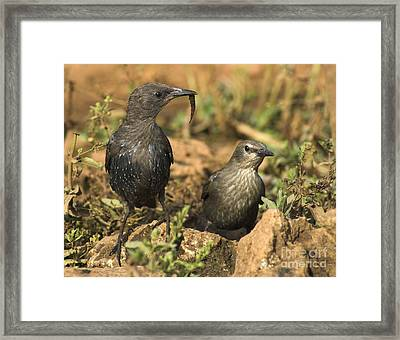 Starling Estornino Framed Print by Guido Montanes Castillo