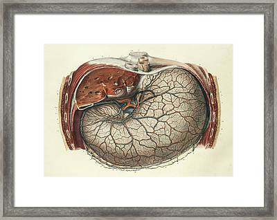 Stomach And Liver Framed Print by Science Photo Library