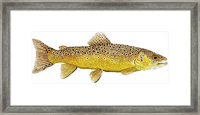 Study Of A Brown Trout Framed Print by Thom Glace