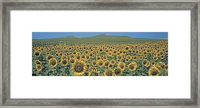 Sunflower Field Andalucia Spain Framed Print by Panoramic Images
